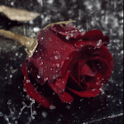 Rain On Red Rose Live Wallpape icon