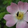 Pintail beetle