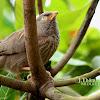 The Jungle Babbler
