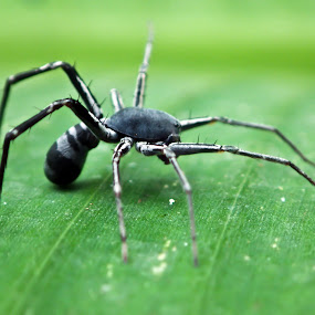 Spider by Aji Prihantoro - Animals Insects & Spiders