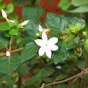 Arabian jasmine sp.