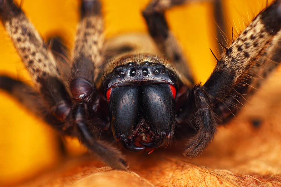 Huntsman spider by Dhimas Prastowo - Animals Insects & Spiders ( #animal, #closeup, #insect, #spider, #macro )