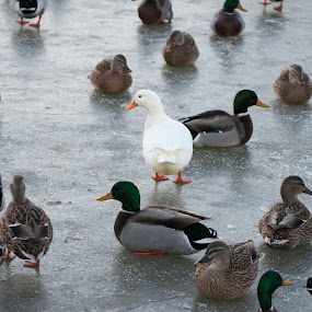 where am I by Star Image - Animals Birds ( duck wildlife outdoor cold winter,  )