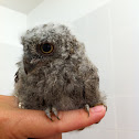 European Scop owl