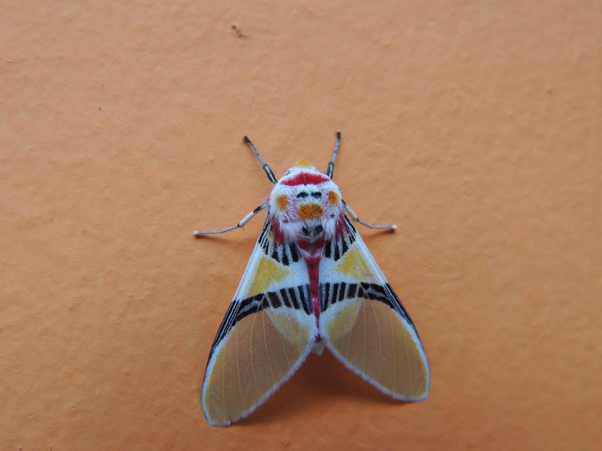 Moth Clown-face::ballerina