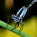 Common Blue Damselfly (male)