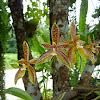 Phalaenopsis curnu-cervi