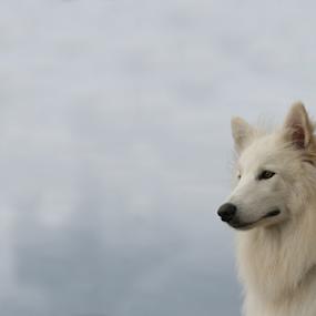 by Viks Pix - Animals - Dogs Portraits ( calm )
