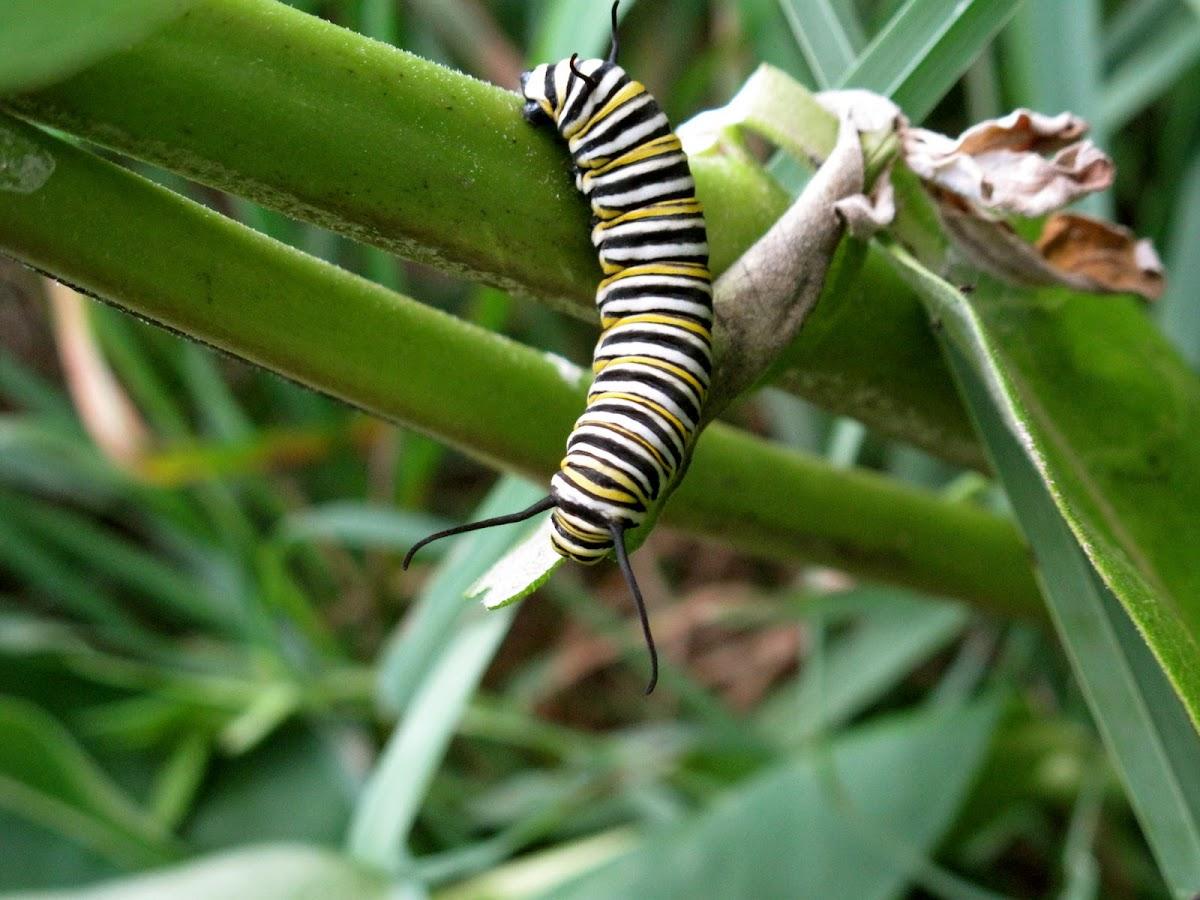Monarch Catapillar