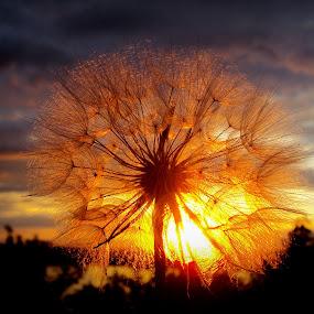 Sunset by Svetlana Micic - Nature Up Close Other plants ( nature, sunset, beauty, light, sun )