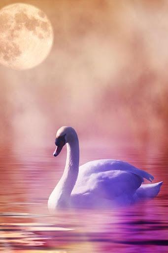Beautiful Swan Photo Free
