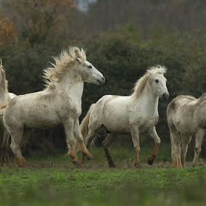 D:\01 GALERIJA FOTO\03 sesalci\Kamarški konj Equus caballus\kamarski-konj-39.jpg