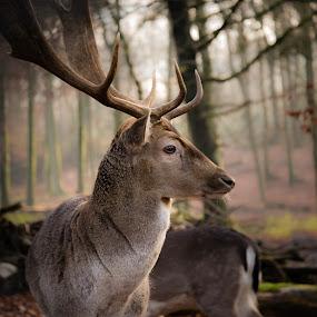 Distinctive Profile by Johannes Schaffert - Animals Other Mammals ( winter coat, horns, fallow deer, forest, wildgehege, damwild, mammal, nature, antlers, germany, bochum, damhirsch, weitmar, deer )