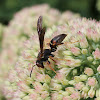 Northern Paper Wasp (female)