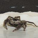 Tan Jumping Spider
