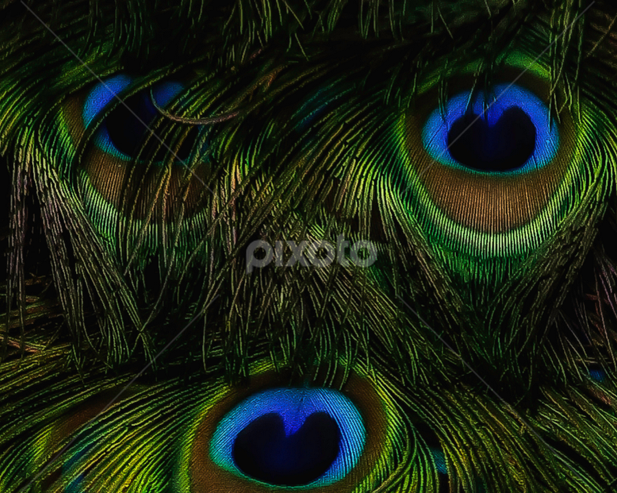 Feather Eyes by Nancy Merolle - Nature Up Close Other Natural Objects ( peacock tail, peacock feathers, looking, animals, feather face, feathers, hair, exotic, birds, eyes,  )