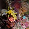 Robust Sea Cucumber