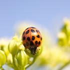 Multicolored Asian Lady Beetle/harlequin ladybird