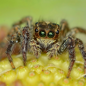 Stare Into Your Heart.. And See Your Soul by Niney Azman - Animals Insects & Spiders ( spiders new file )
