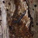 Patent-leather beetle larva