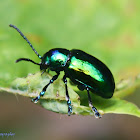Green Dock Leaf Beetle