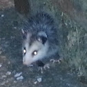 Juvenile Virginia Opossum
