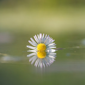 reflection by Melchiorre Pizzitola - Flowers Single Flower ( flower/nature/wildlife/water / )