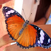 Danaid Eggfly Female