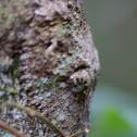 leaf tailed gekko