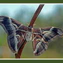 Ailanthus Silkmoth ~Male
