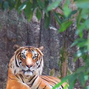 Raja by Anis Ghazalli - Animals Lions, Tigers & Big Cats ( cats, wild, big cats, zoo, tiger, melaka, king )