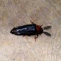 Glowworm beetle