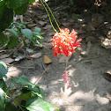 Japanese Lantern, Coral Hibiscus