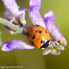 Seven-spotted ladybeetle