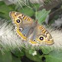 Mariposa posando en una pennisetum