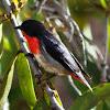 Mistletoe Bird (Male)