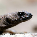 Prickly Forest Skink