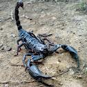 Malaysian Forest Scorpion
