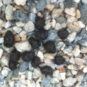 Eastern Cottontail Droppings