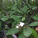 White plumeria tree