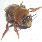 Colletidae bee