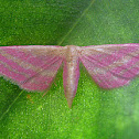 Raspberry Wave Moth