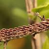 Giant Katydid - Eggs