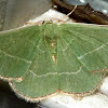 Red- Fringed Emerald Moth