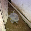 More Egg, More Egg :) (SE Asia Box Turtle)