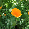 California poppy (golden poppy, California sunlight, cup of gold)