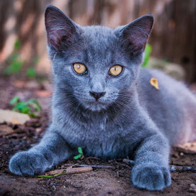 Slate by Bob Barrett - Animals - Cats Kittens ( kitten, cat, cat eyes, pet, animal )
