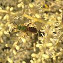 Metallic Green Sweat Bee ♂