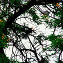 Green Wood Hoopoe
