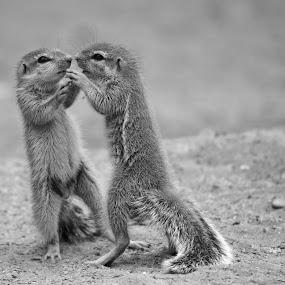 Friends?? by Adéle van Schalkwyk - Black & White Animals ( wild, free, fight, play, fiends, ground squirrel, squirrel )